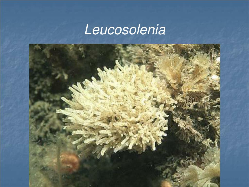 PPT - Phylum Porifera The Sponges PowerPoint Presentation ...