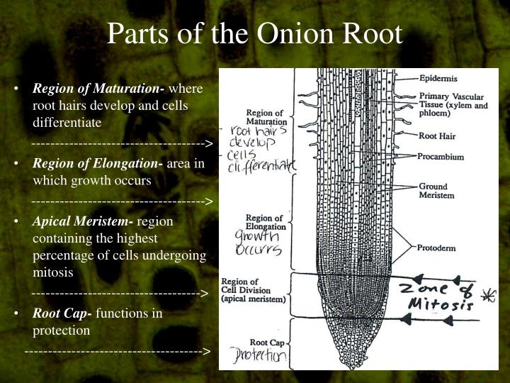 PPT - Onion Root Tip L...