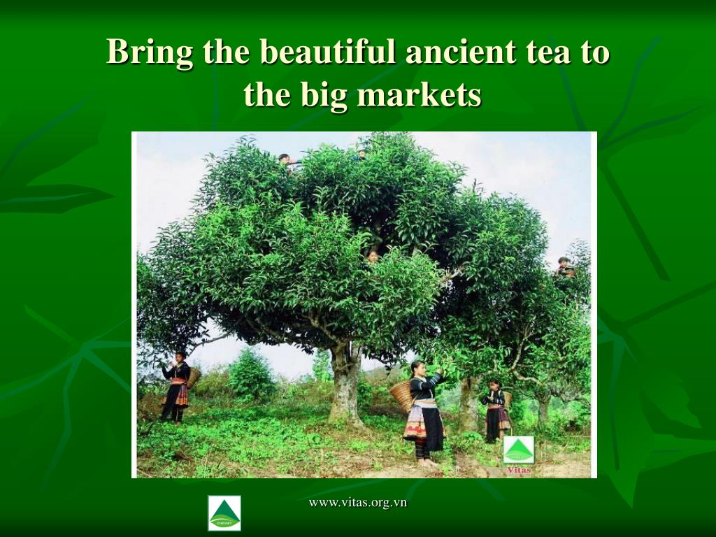 Bring the beautiful ancient tea to