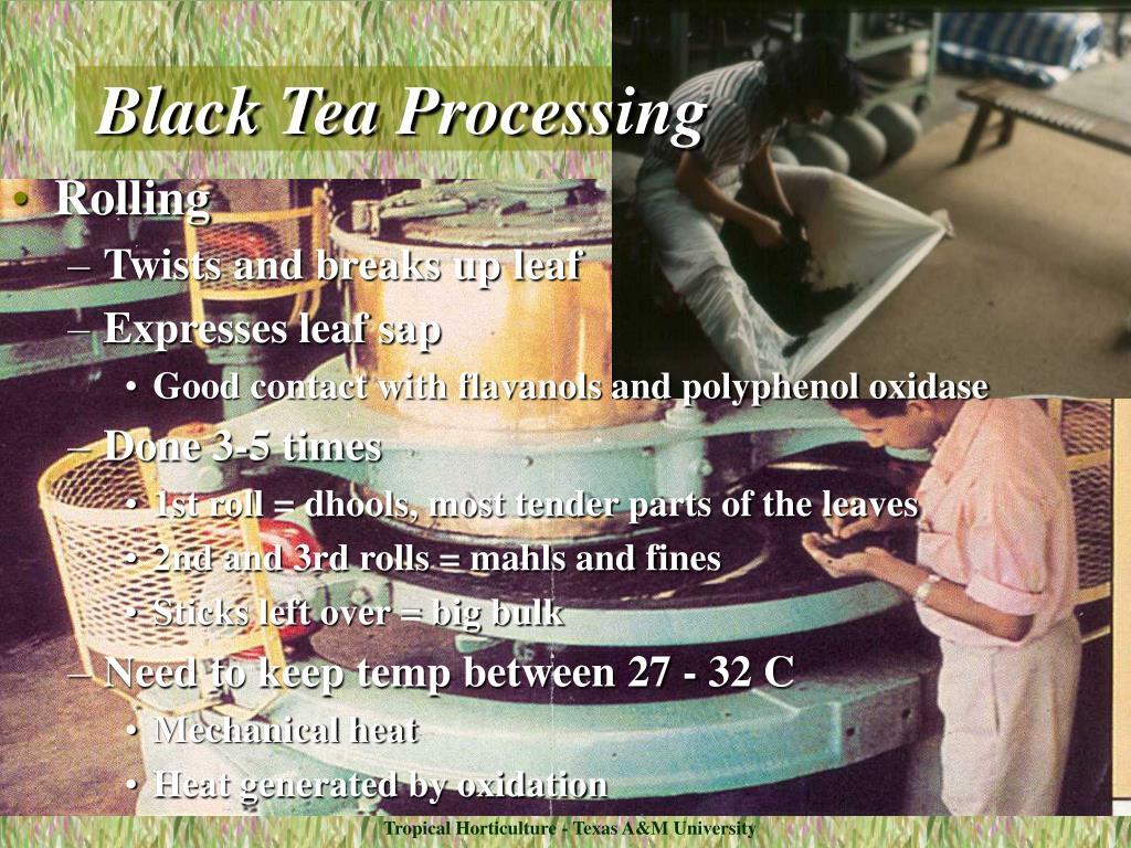 Black Tea Processing