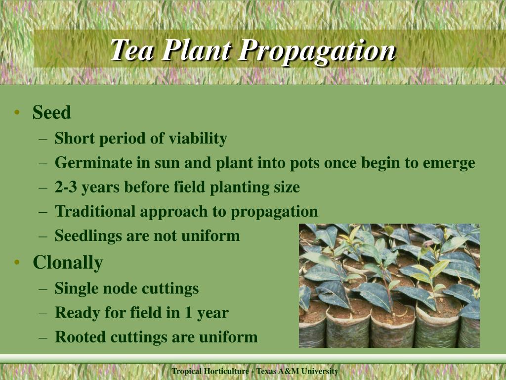 Tea Plant Propagation