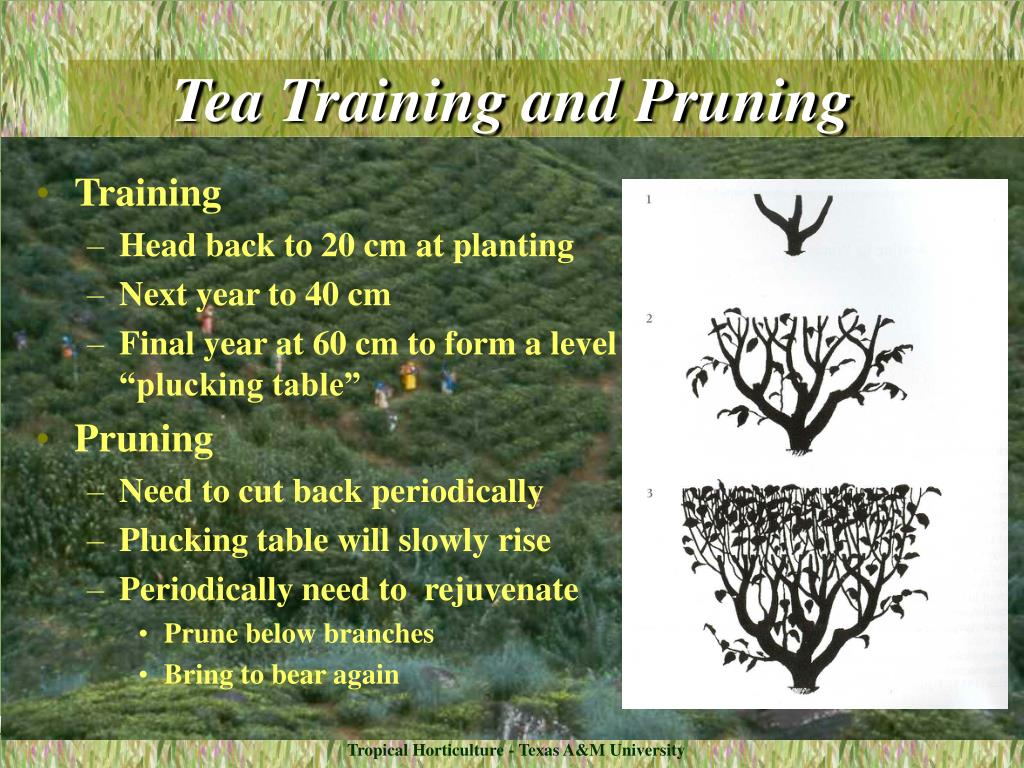 Tea Training and Pruning