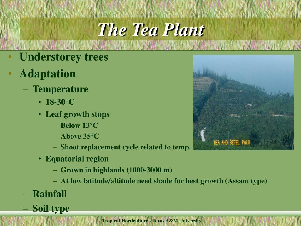 The Tea Plant