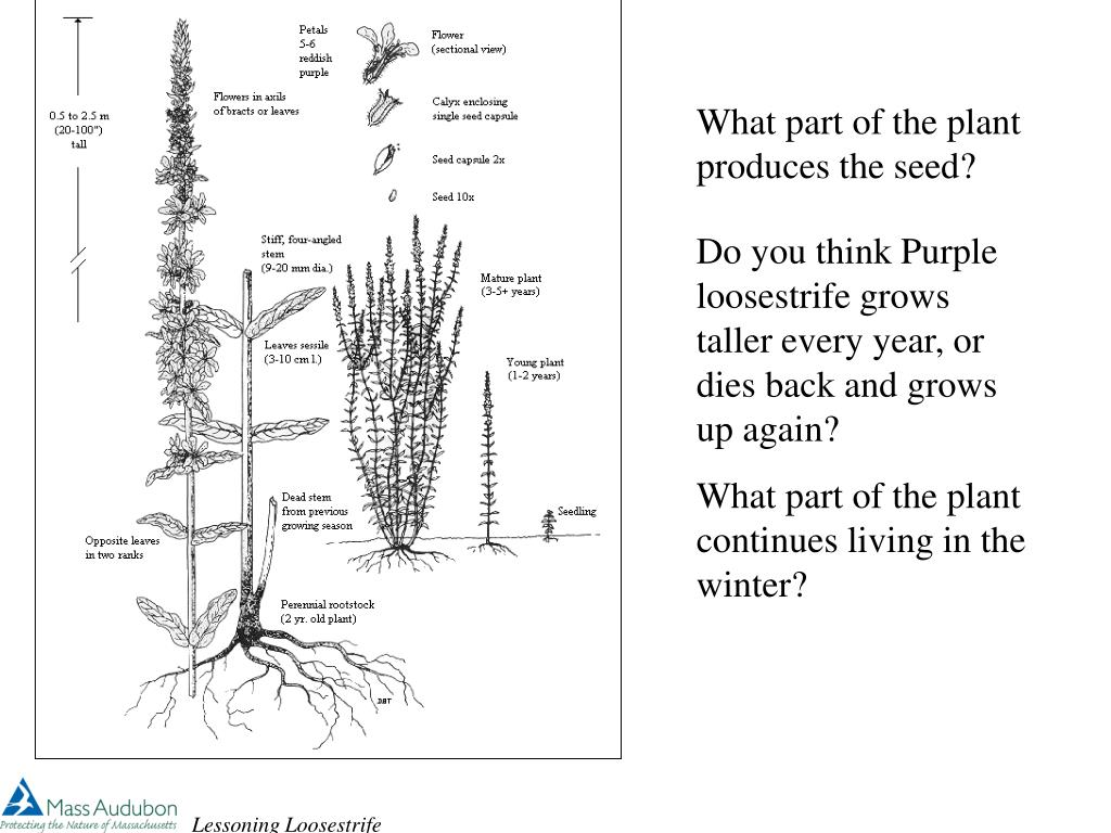 What part of the plant produces the seed?