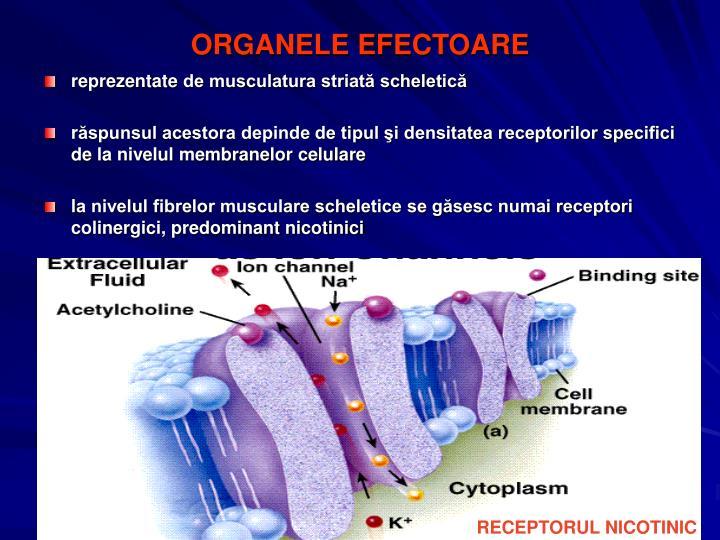 ORGANELE EFECTOARE