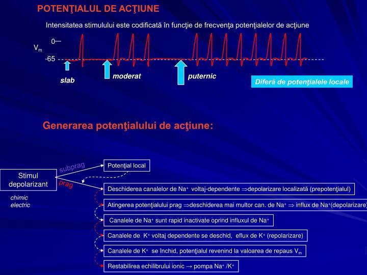 Intensitatea stimulului este codificată în funcţie de frecvenţa potenţialelor de acţiune