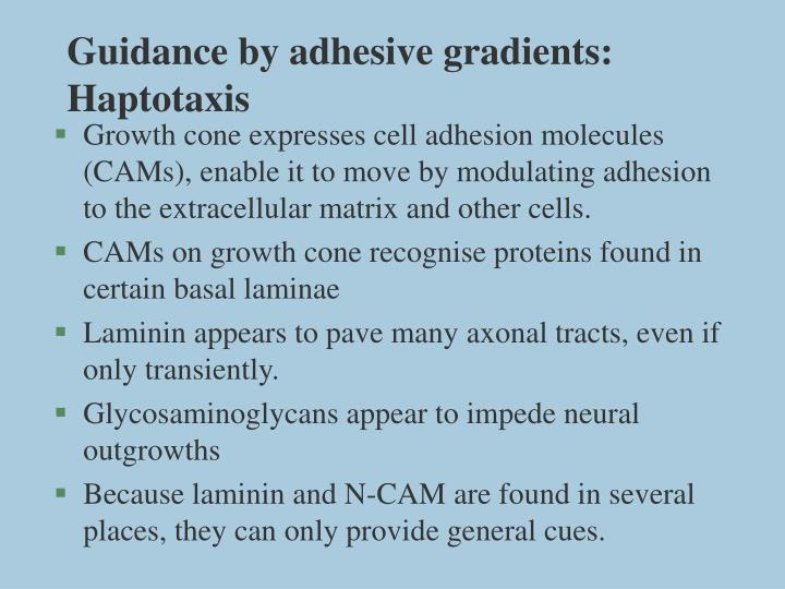 Guidance by adhesive gradients haptotaxis