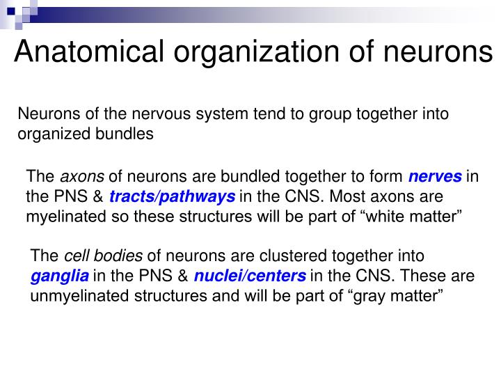 Anatomical organization of neurons