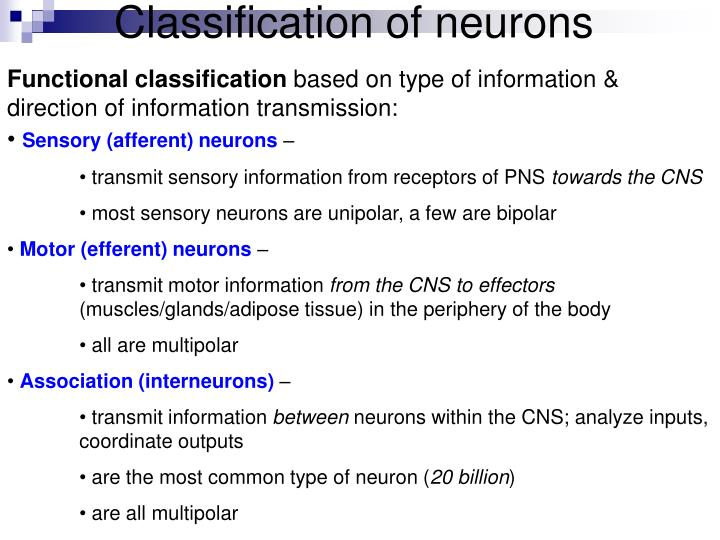 Classification of neurons