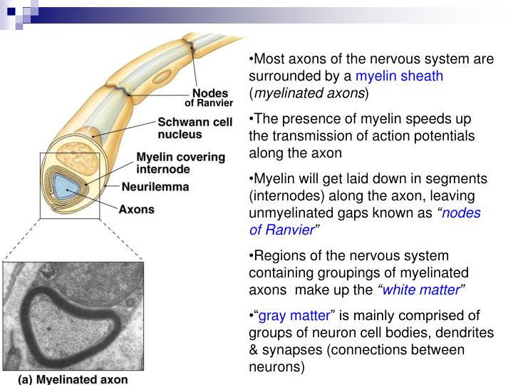 Most axons of the nervous system are surrounded by a