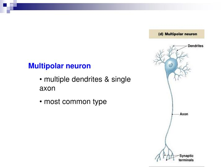 Multipolar neuron