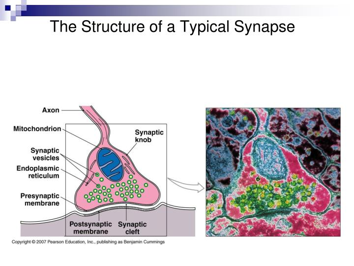 The Structure of a Typical Synapse