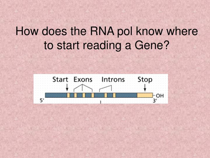 How does the RNA pol know where to start reading a Gene?