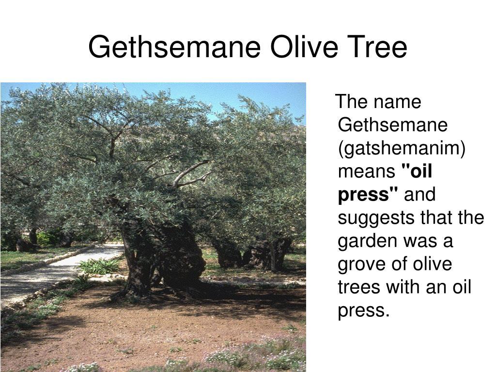 The name Gethsemane (gatshemanim) means