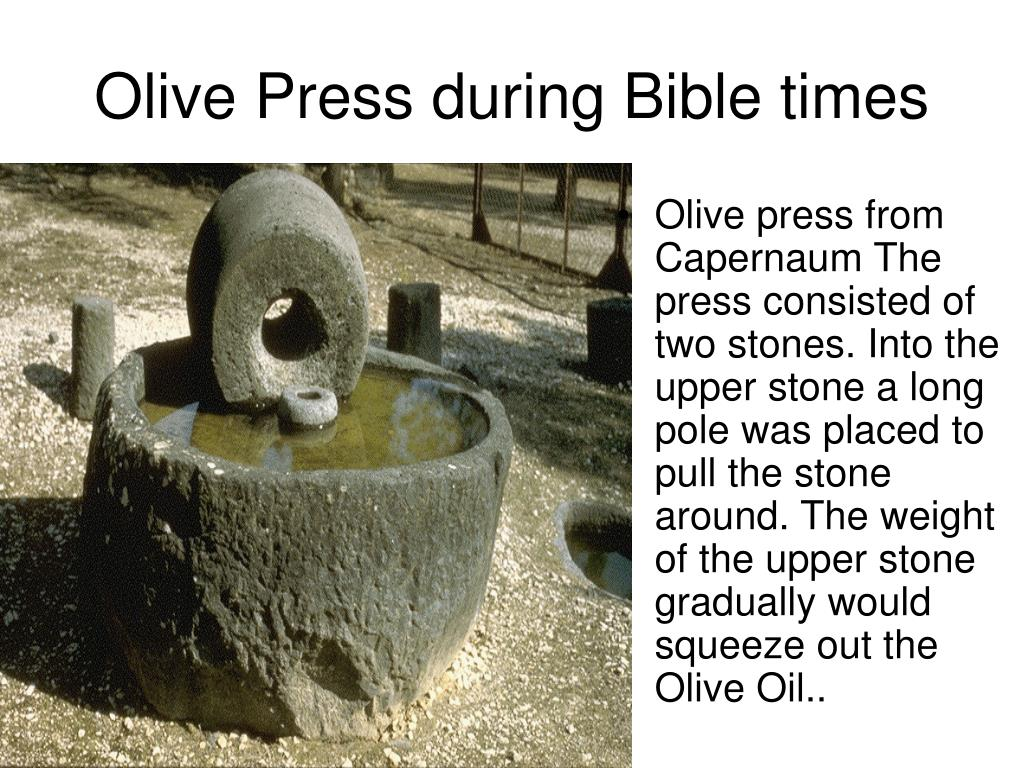 Olive press from Capernaum The press consisted of two stones. Into the upper stone a long pole was placed to pull the stone around. The weight of the upper stone gradually would squeeze out the Olive Oil..