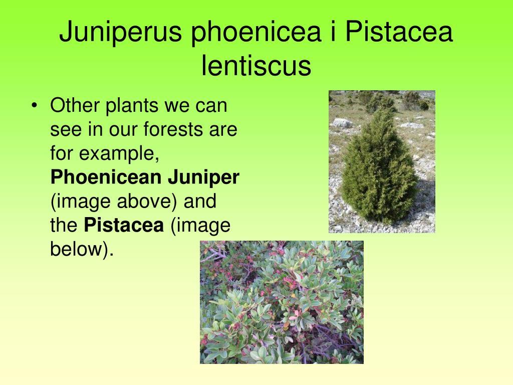 Juniperus phoenicea i Pistacea lentiscus