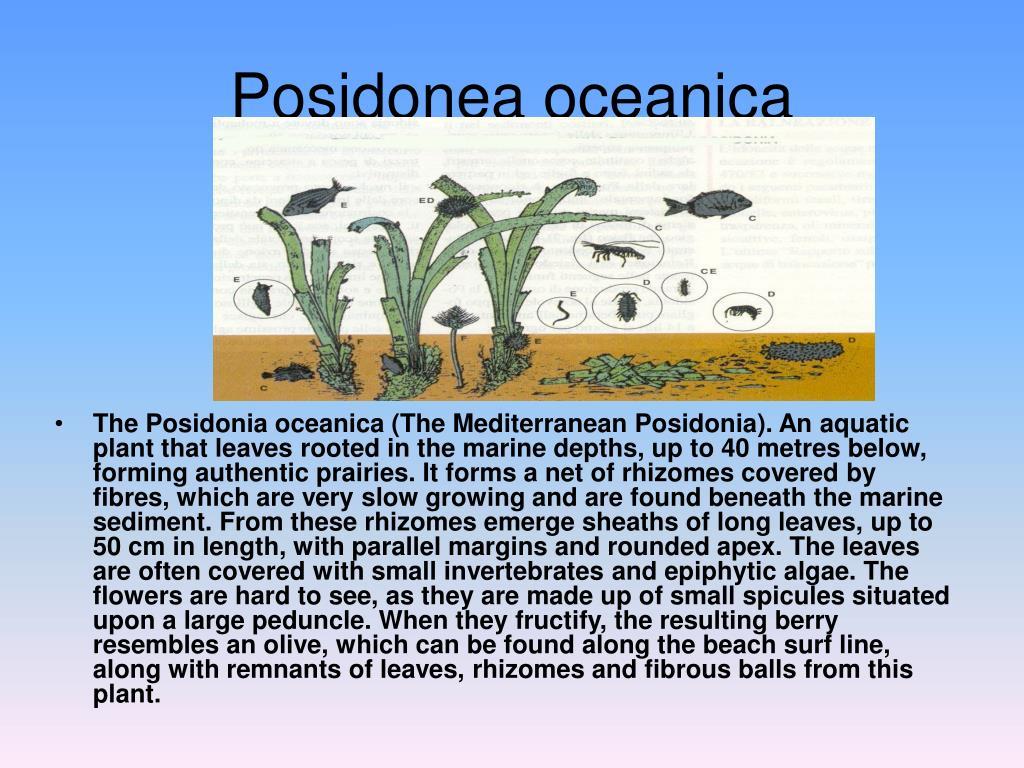 Posidonea oceanica