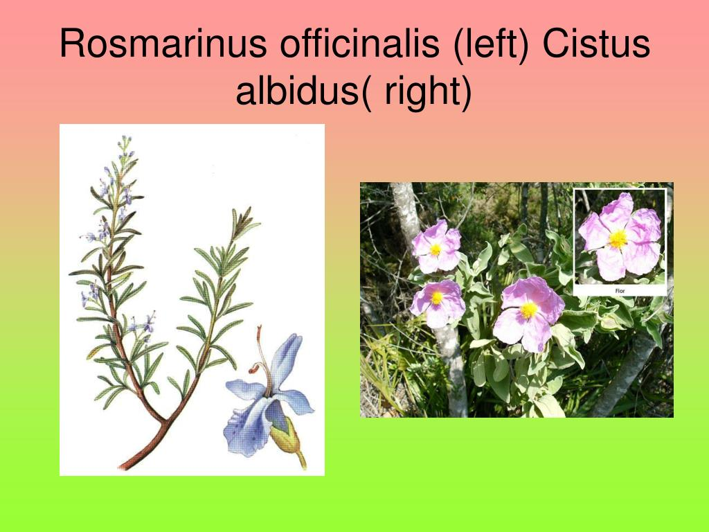 Rosmarinus officinalis (left) Cistus albidus( right)