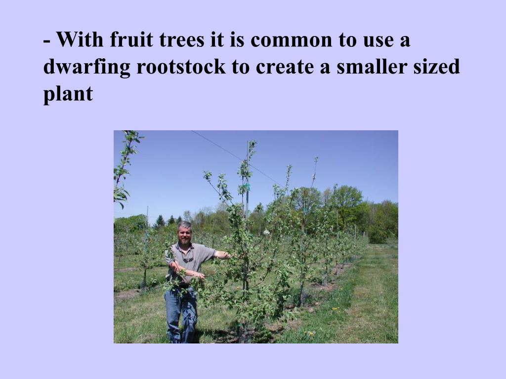 - With fruit trees it is common to use a dwarfing rootstock to create a smaller sized plant