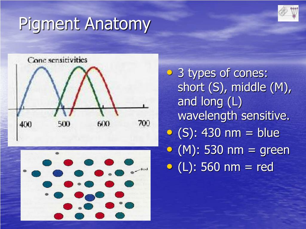 3 types of cones: short (S), middle (M), and long (L) wavelength sensitive.