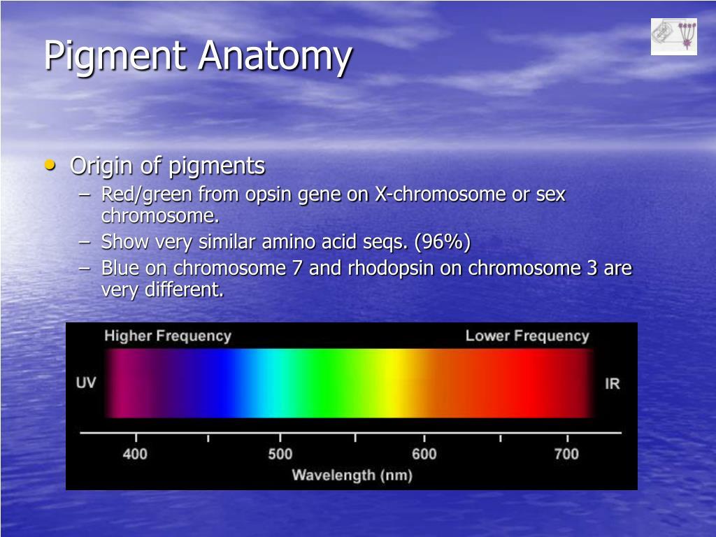 Pigment Anatomy