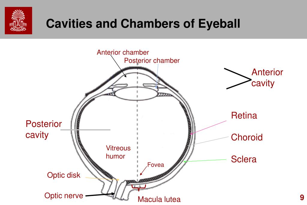 Cavities and Chambers of Eyeball