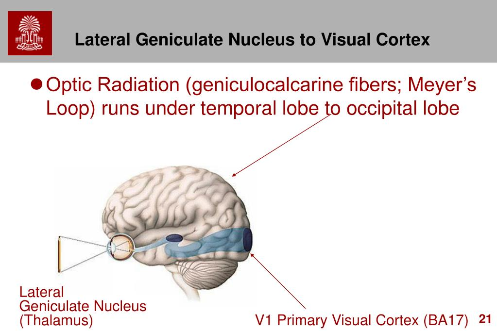 Lateral Geniculate Nucleus to Visual Cortex