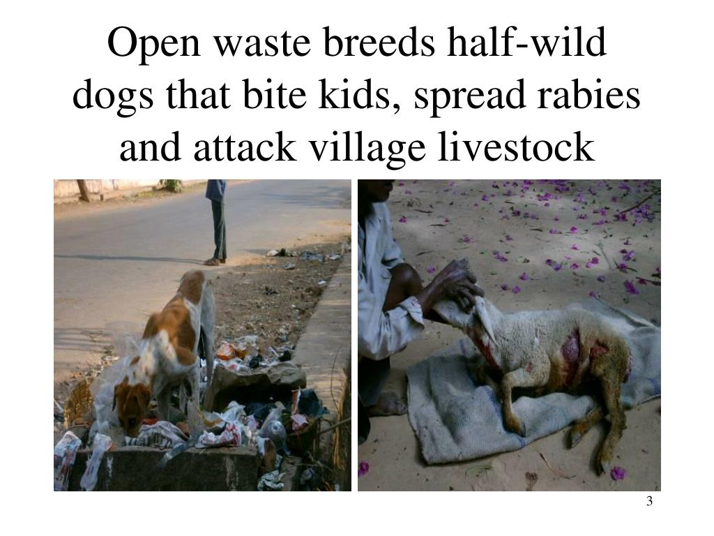Open waste breeds half-wild dogs that bite kids, spread rabies and attack village livestock