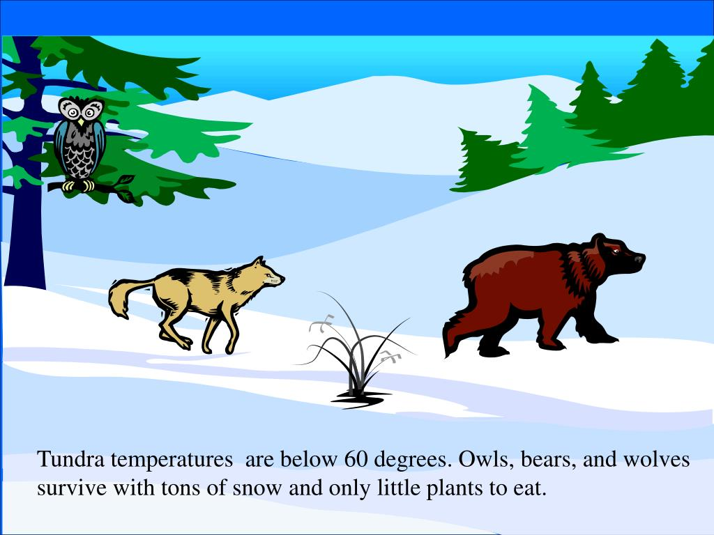 Tundra temperatures  are below 60 degrees. Owls, bears, and wolves
