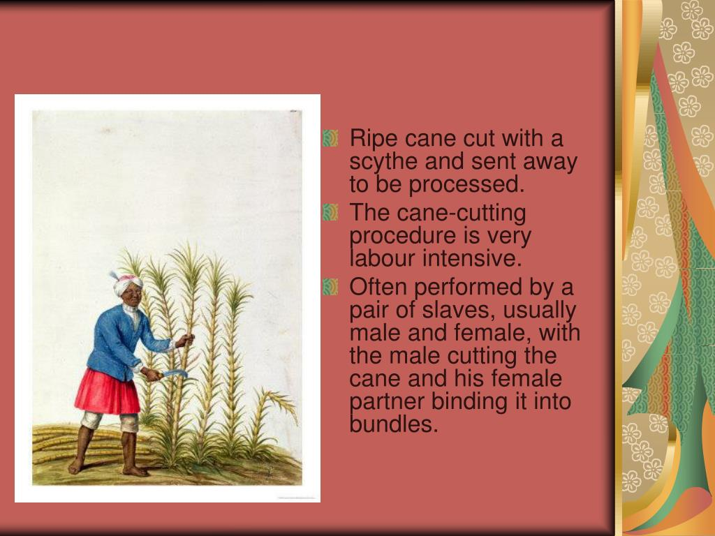 Ripe cane cut with a scythe and sent away to be processed.