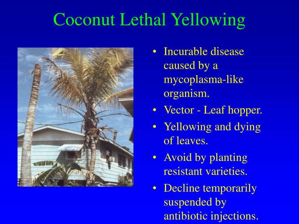Coconut Lethal Yellowing