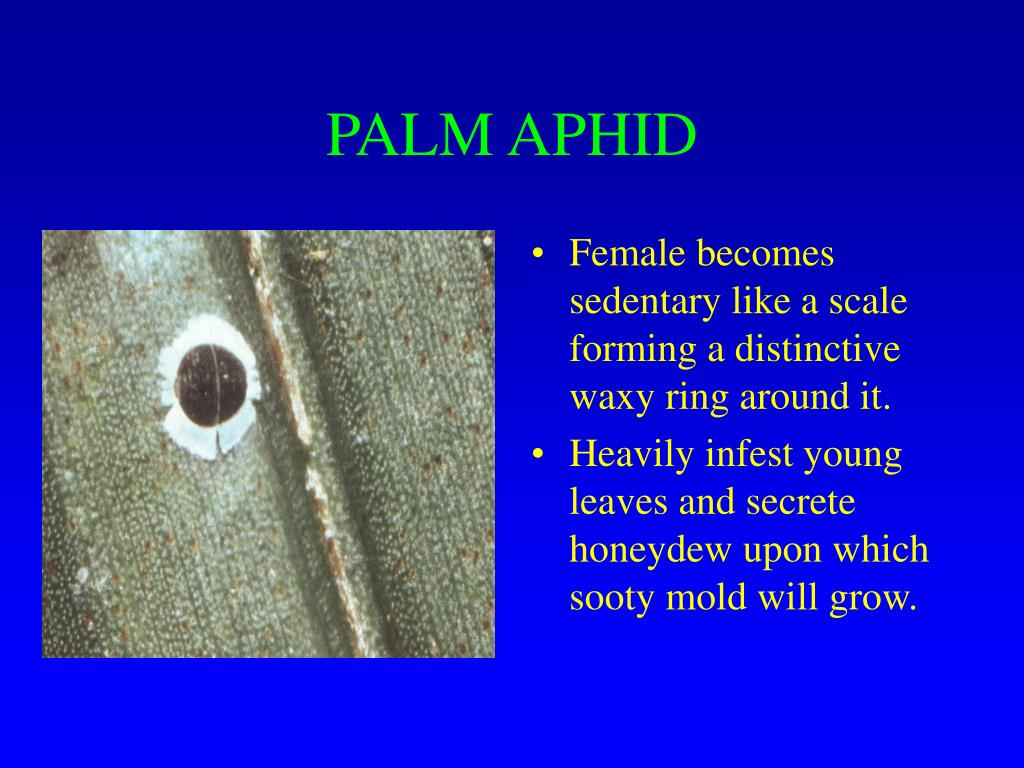 PALM APHID