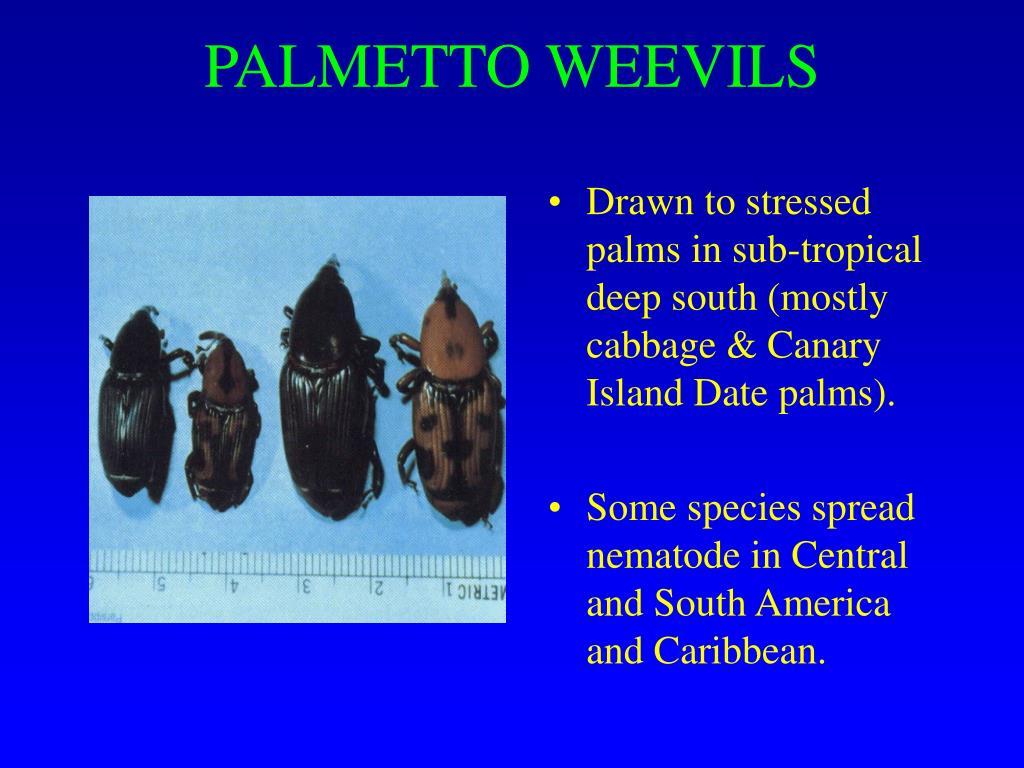 PALMETTO WEEVILS