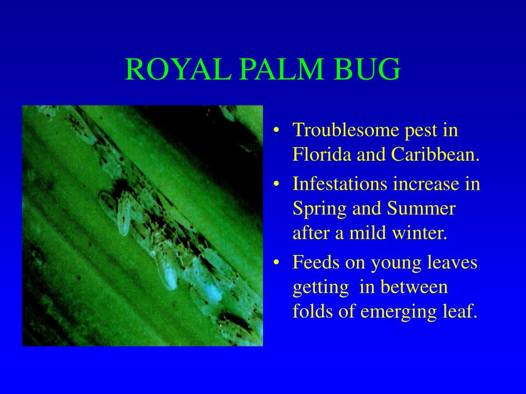 ROYAL PALM BUG