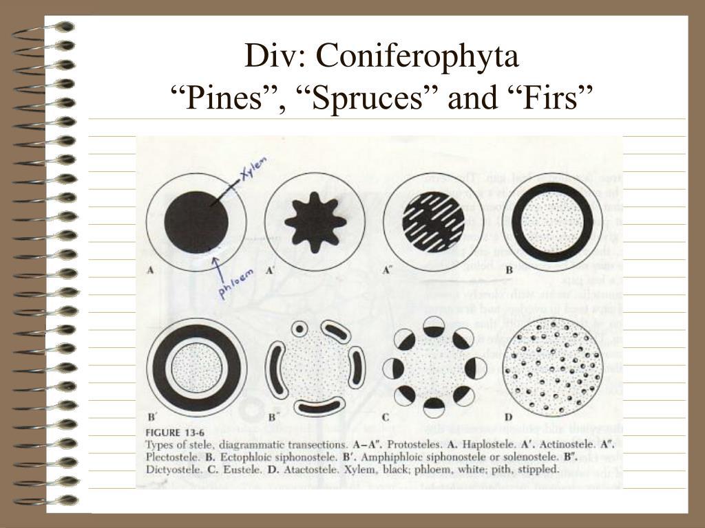 Div: Coniferophyta