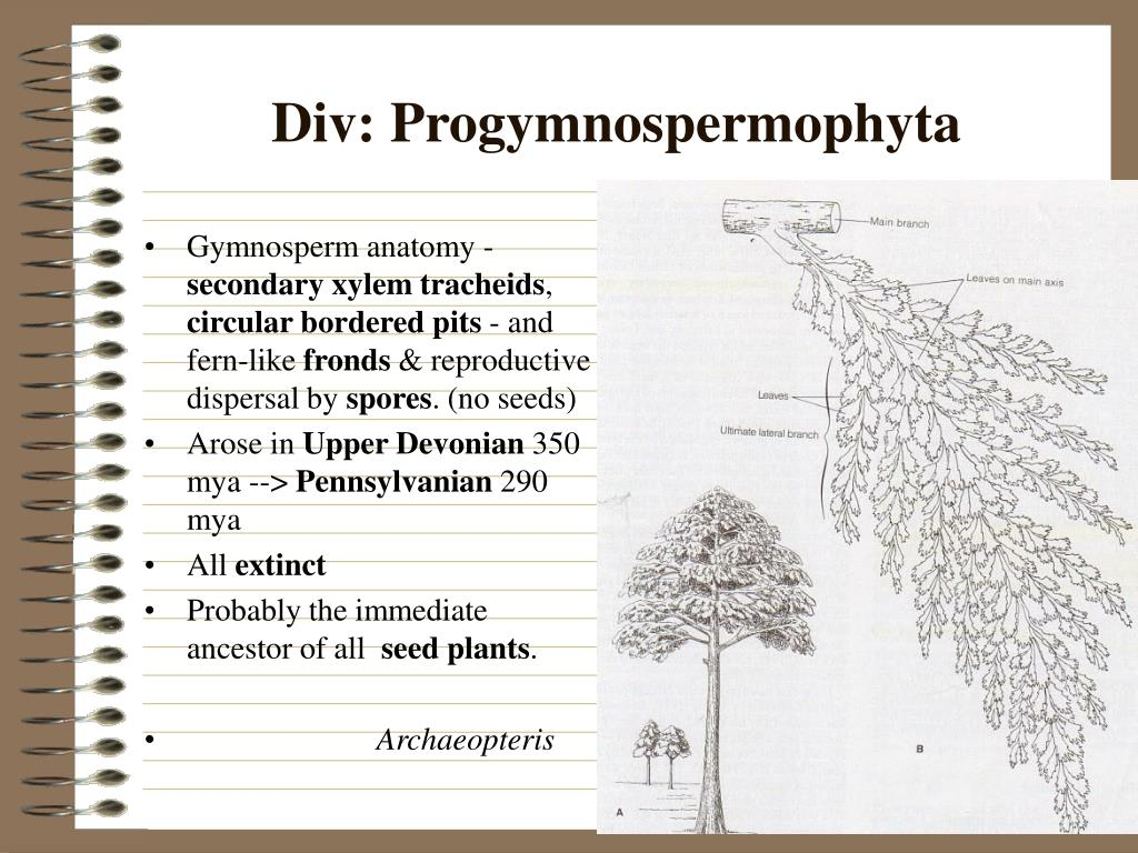 Gymnosperm anatomy -