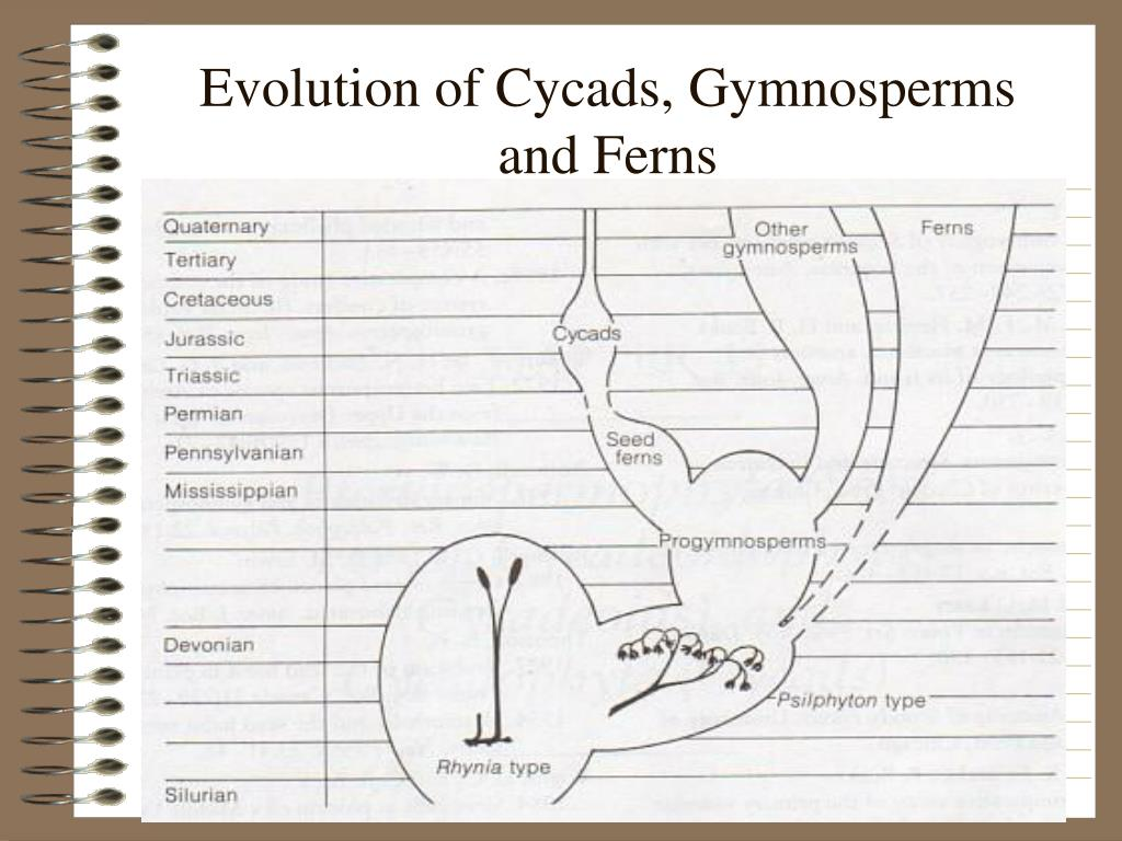 Evolution of Cycads, Gymnosperms