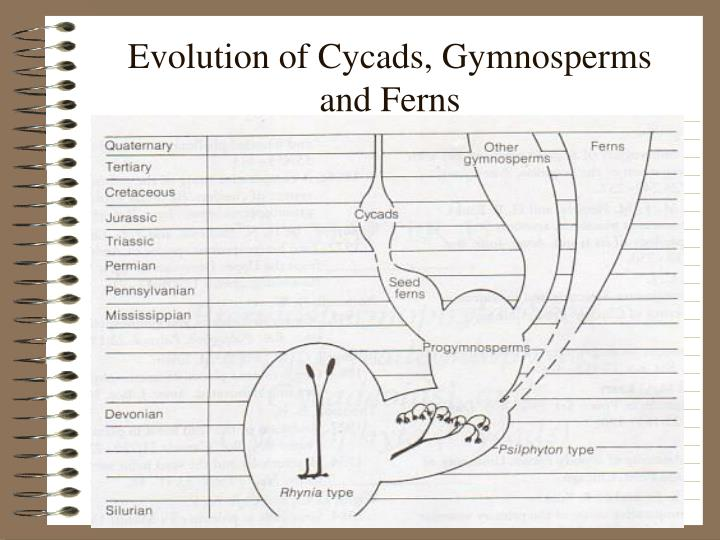 Evolution of cycads gymnosperms and ferns l.jpg