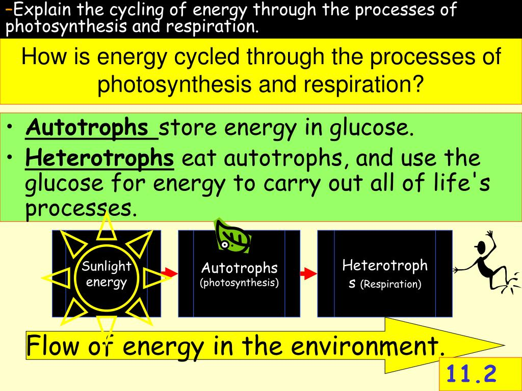 Explain the cycling of energy through the processes of photosynthesis and respiration.