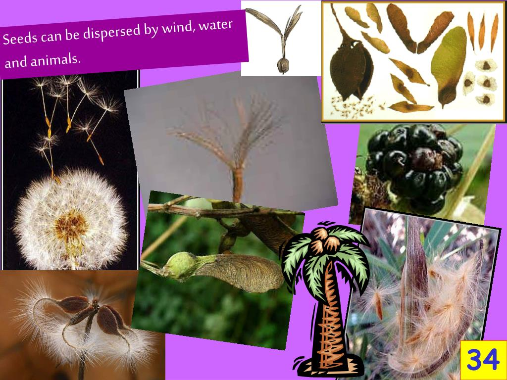 Seeds can be dispersed by wind, water and animals.