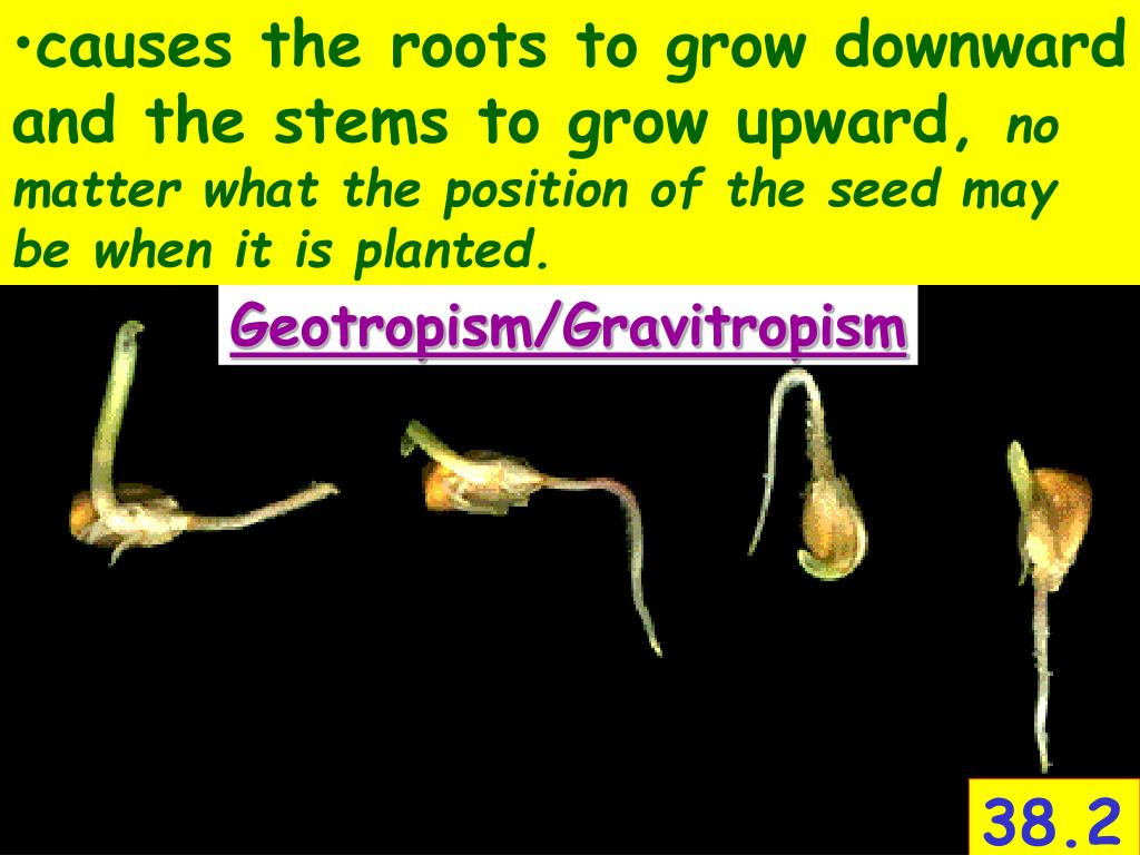 causes the roots to grow downward and the stems to grow upward,