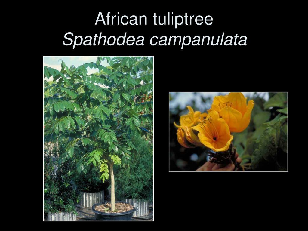 African tuliptree