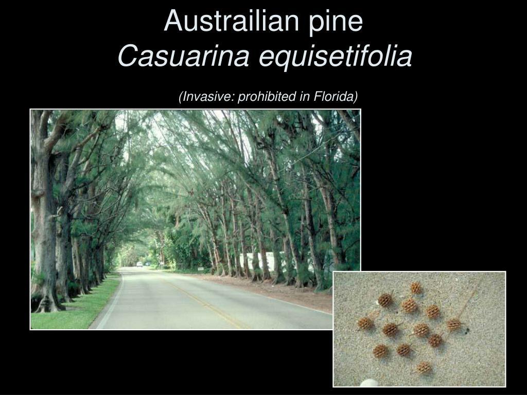 Austrailian pine