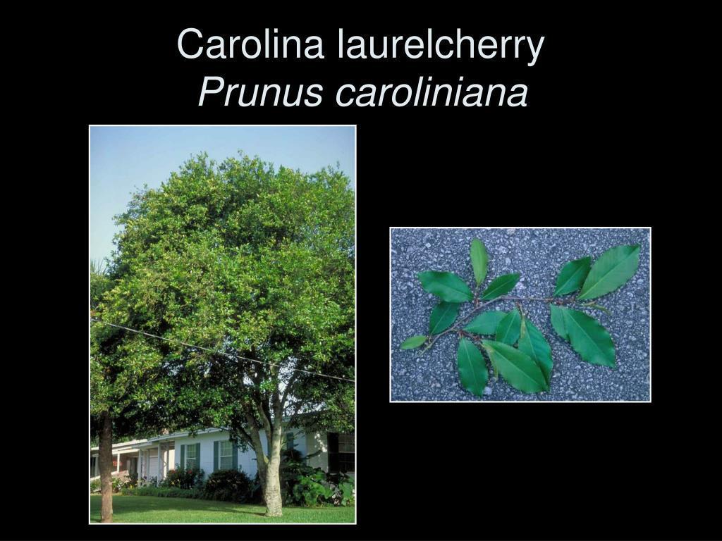 Carolina laurelcherry
