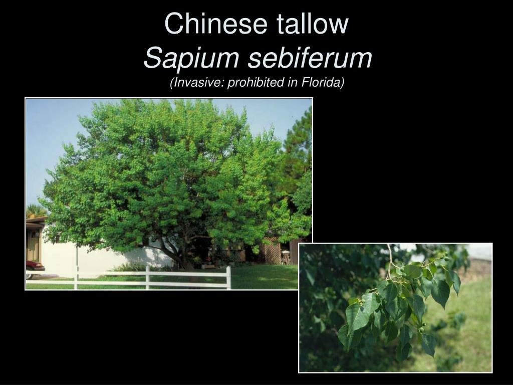 Chinese tallow