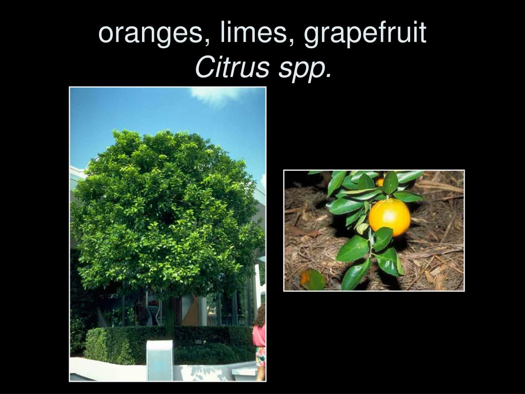 oranges, limes, grapefruit
