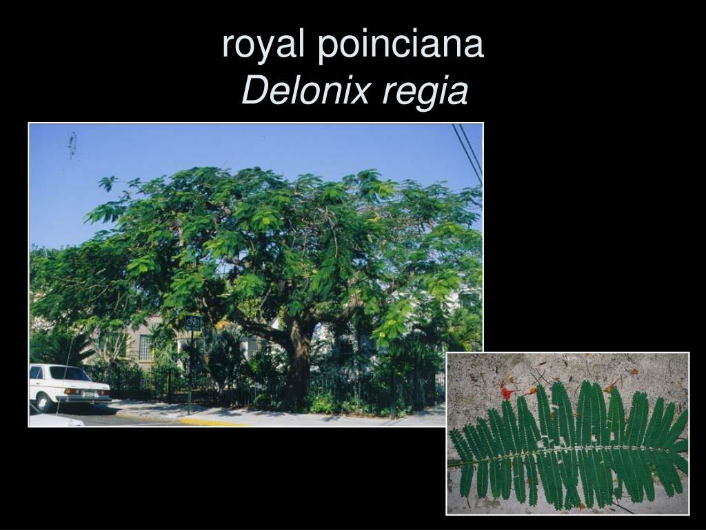 royal poinciana