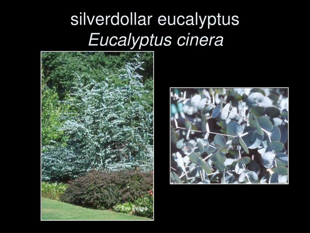 silverdollar eucalyptus