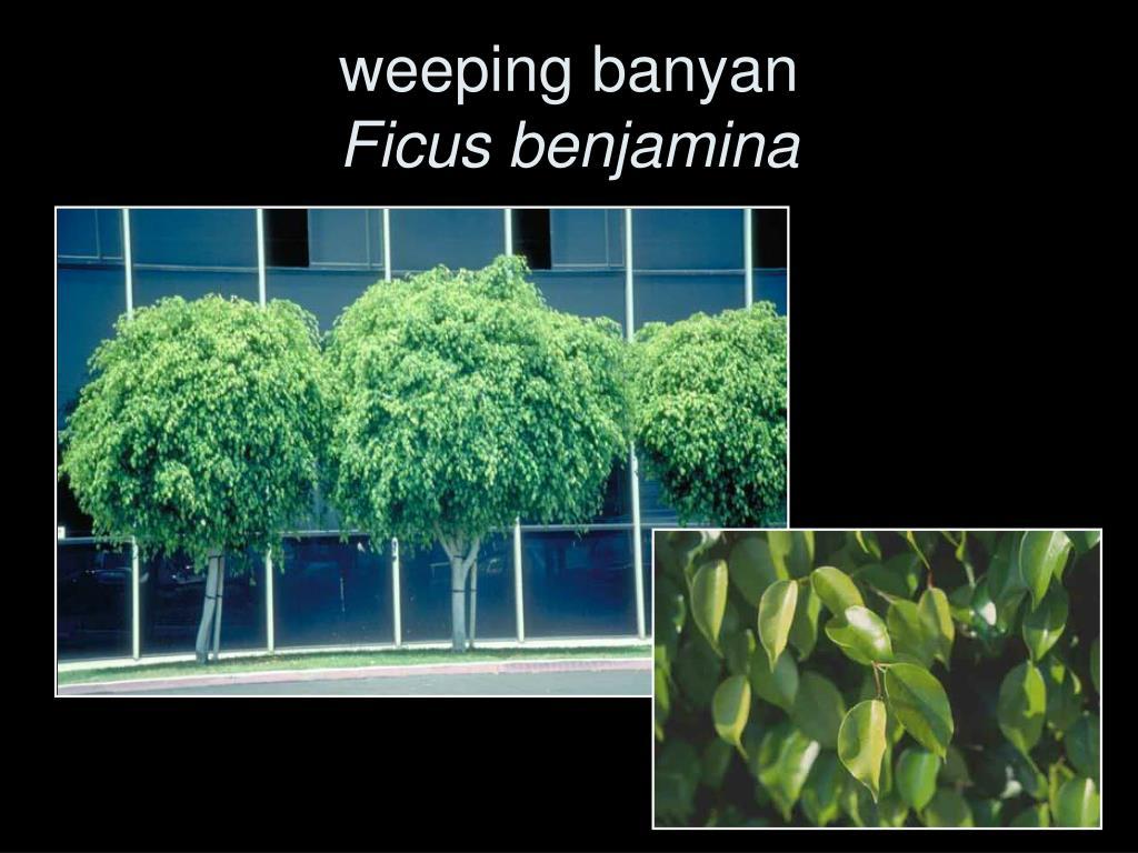 weeping banyan