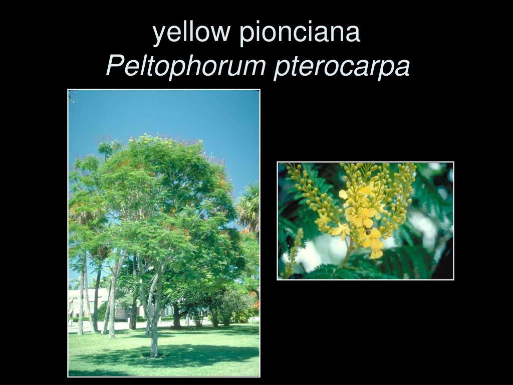 yellow pionciana